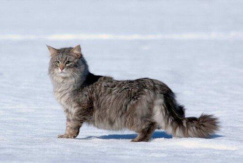 sibirisk katt allergi