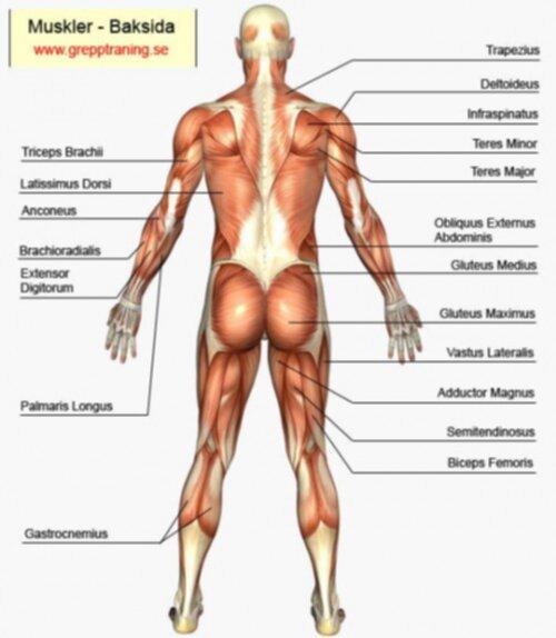 kroppens muskler latin