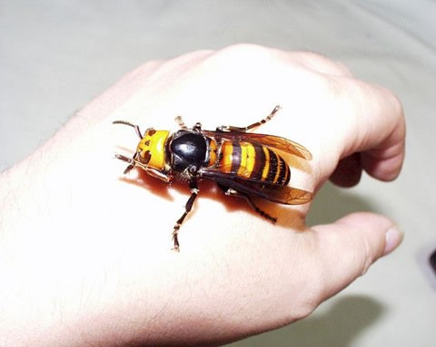 Asian giant hornet