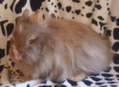 hermelin kanin i brun